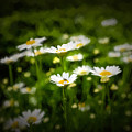 Spring Daisies  by Chris Bordeleau