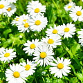 Spring Daisy In The Meadow by Predrag Lukic