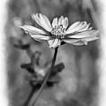 Spring Desires 2 Bw by Steve Harrington
