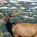 Spring Elk by Rob Lantz
