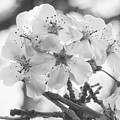 Spring Flowers - White by Philip Openshaw