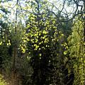 Spring Foliage by Jarmo Honkanen