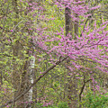 Spring Forest With Redbud by Dean Pennala