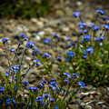 Spring Forget-me-nots by James Truett