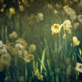 Spring Garden With Narcissus Flowers by Peter v Quenter