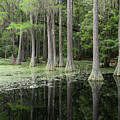 Spring Green In Cypress Swamp by Carol Groenen