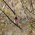 Spring Grosbeak by Debbie Oppermann