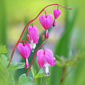 Spring Hearts - Flowers With Vignette by MTBobbins Photography