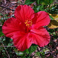 Spring Hibiscus by Classic Color Creations