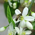 Spring Honey Bee Pollinates Orange Citrus Flower by Katrina Lau