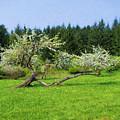 Spring In Bloom by HW Kateley