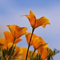 Spring Is A Poppin' by Saija  Lehtonen