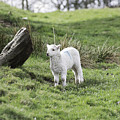 Spring Lamb by Steve Purnell