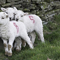 Spring Lambs 2 by Steve Purnell