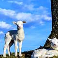 Spring Lambs Evening Light by Thomas R Fletcher