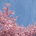 Spring Landscape Pink Trees Blossoms Blue Sky Baslee Troutman by Baslee Troutman