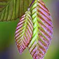 Spring Leaves by Carolyn Derstine