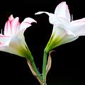 Spring Lilies by Ram Vasudev