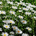 Spring Loyal Love Daisies  by Dale E Jackson