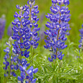 Spring Lupine by Idaho Scenic Images Linda Lantzy