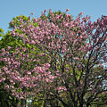 Spring Magnolia by Allan  Hughes