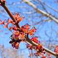 Spring Maple Blossoms by Stephanie Forrer-Harbridge