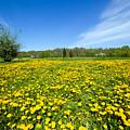 Spring Meadow Full Of Dandelions Flowers And Green Grass by Michal Bednarek