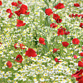 Spring Meadow With Poppy And Chamomile Flowers by Goce Risteski