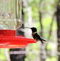 Spring Migration Hummingbird by Roe Rader
