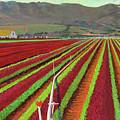 Spring Mix Lettuce Fields by Rhett Regina Owings