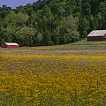 Spring Mustard And Barns by Rick DeCroes