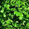 Spring New Beech Leaves by Jozef Jankola
