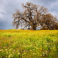 Spring Oak Tree And Wildflowers by Lynn Bauer
