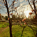 Spring Orchard In Williamsburg by Rachel Morrison