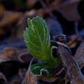 Spring Peeps Forth by Douglas Barnett