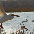 Spring Pelicans 2 by Shari Morehead