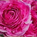 Spring Pink Roses by Joan Reese