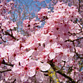 Spring Pink Tree Blossoms Art Print Baslee Troutman by Baslee Troutman