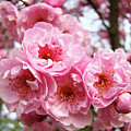 Spring Pink Tree Blossoms Art Prints Baslee Troutman by Baslee Troutman