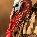 Spring Portrait Of Wild Turkey Tom by Max Allen