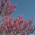 Spring Redbud Tree by Connie Young