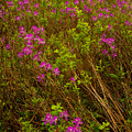 Spring Rhodora Blossoms by Irwin Barrett