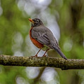 Spring Robin by Jerry Cahill