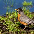 Spring Robin by Karol Livote