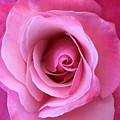 Spring Rose by Agnes Felipe