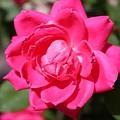 Spring Rose by Susan Lotterer