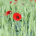 Spring Scene Green Wheat And Poppy Flowers by Goce Risteski
