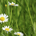 Spring Scene White Wild Flowers by Goce Risteski