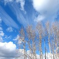 Spring Sky And Cotton Trees by Will Borden