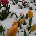 Spring Snow by Jennifer Forsyth